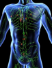 Picture of the lymphatic system