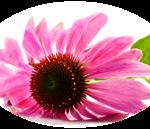 photo of echinaca